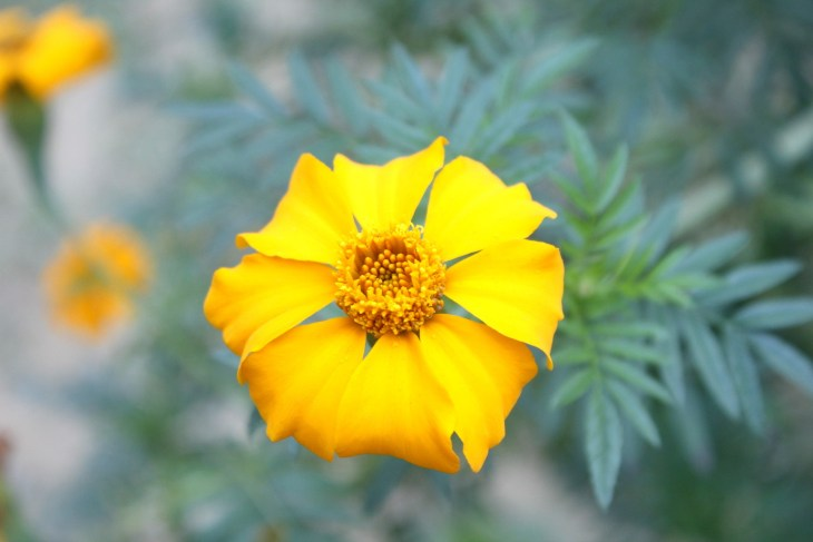 tagetes marigold lemon gem has a single layer of yellow petals