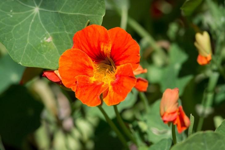 bright red orange nasturtium blossom