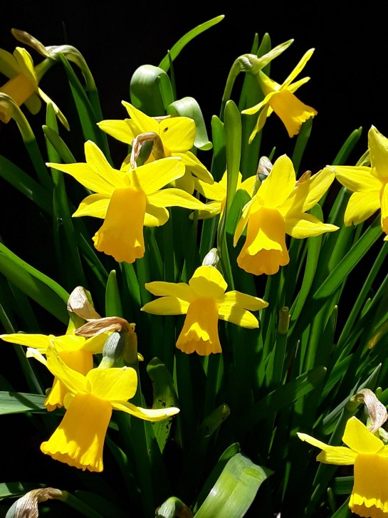 Clumps of yellow miniature daffodils glow in the sun