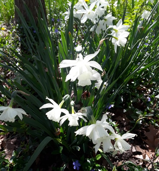 Thalia daffodils are pure white, cup and petals