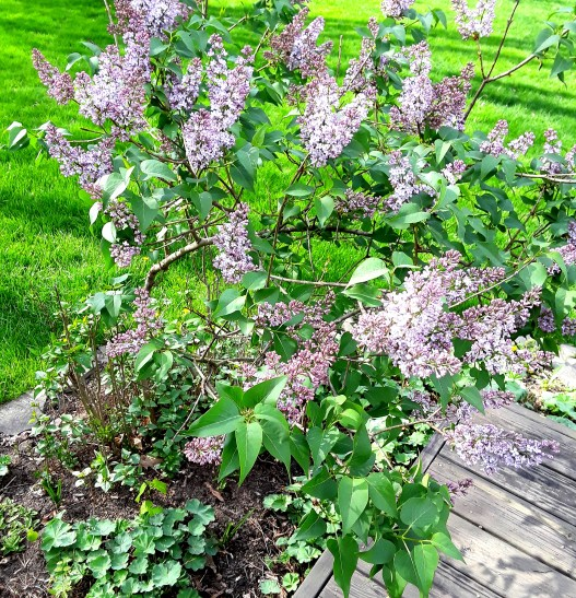 The purple lilac just beginning to bloom next to the deck