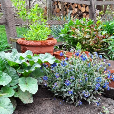 Blue pulmonaria, rhubarb and forsythia fill the garden with texture and color