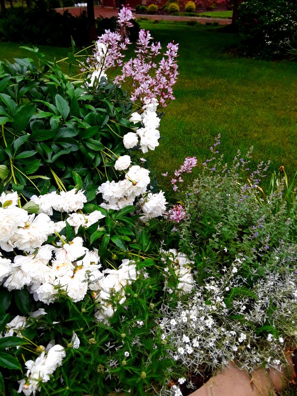 White peonies and pink dictamnus are layered with purple nepeta and white snow-in-summer flowers.