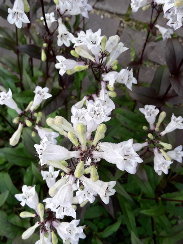 Penstemon 'Husker Red' sports white blooms atop burgundy foliage.