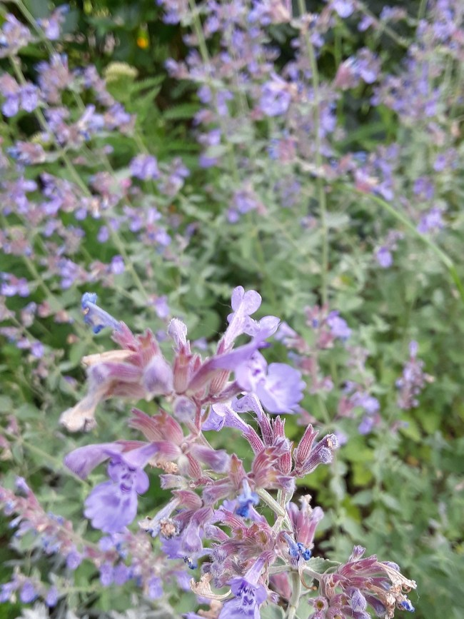 """Catmint (nepeta) Send up flower spikes in a lavender """"mist."""""""
