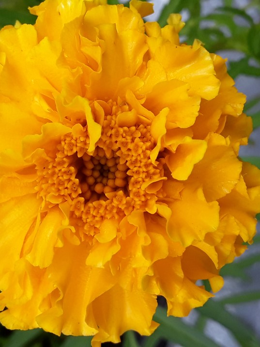 Yellow marigold shows its frilly golden petals