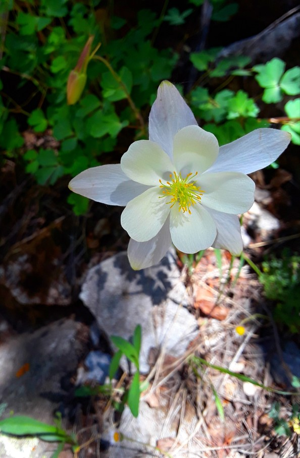 pale blue petals surround the white corolla of columbine