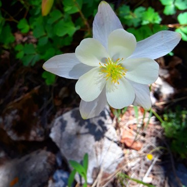 pale blue petals surround the white corolla of columbine