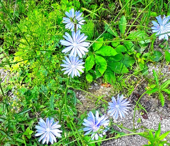 chicory flowers are blue, but their petals look like daisies
