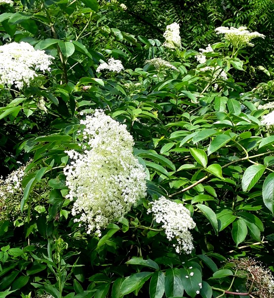 blossoms of elderberry are ivory caps with compound flowerheads