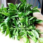 A pile of fragrant basil branches covers the table