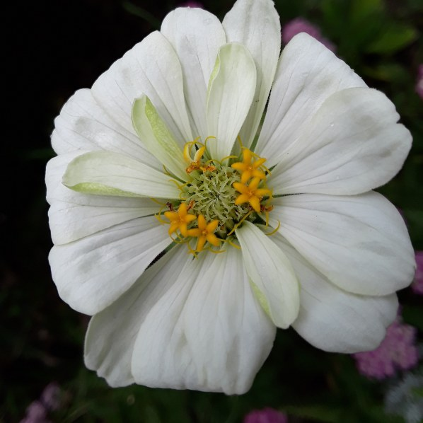 A white zinnia blossom is pictured against a dark background