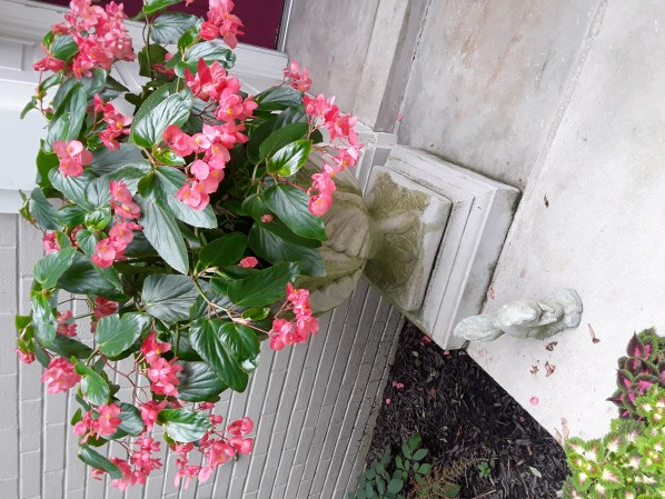 Pink begonias planted in cement urns beside the entryway