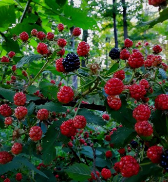 a few ripe blackberries among scores of unripe red ones