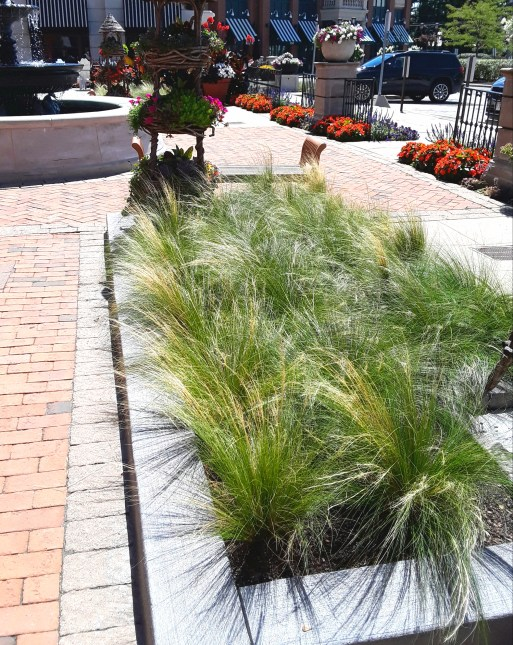 A concrete bordered bed of ornamental grasses sways in the breeze