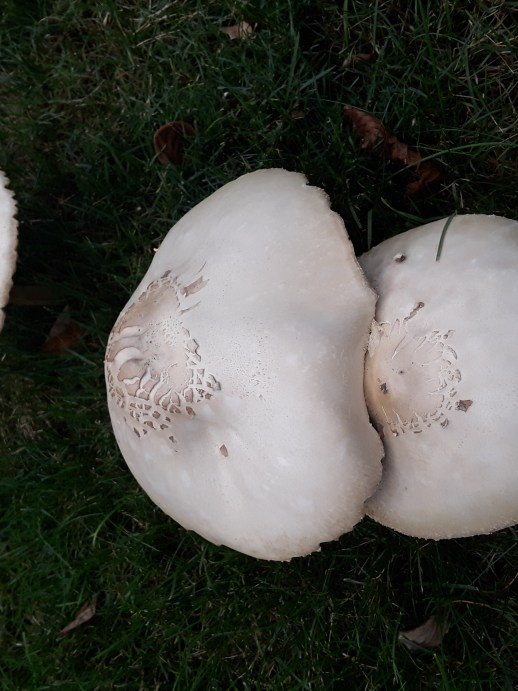 Three large white capped mushrooms