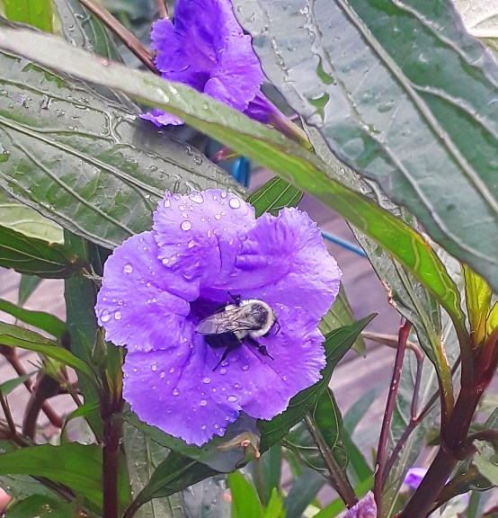 a bumblebee dives into the throat of a blue flower