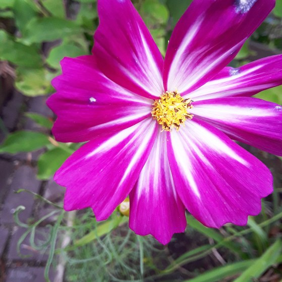 a magenta cosmos flower with a white striped throat