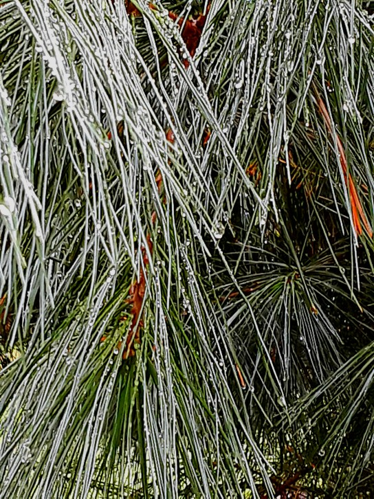 Raindrops cling to a close-up photo of White Pine needles.