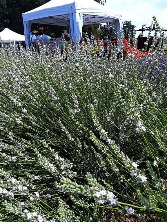 Lavender plants surround tents set up at Luvin Lavender Farms Lavender Festival.