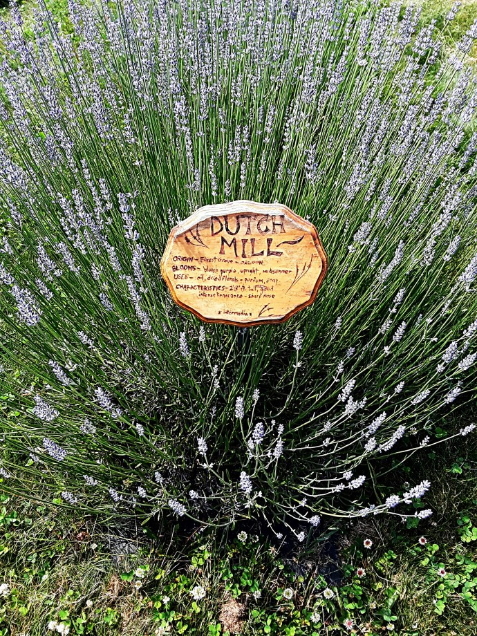 """Dutch Mill"" lavender has lots of tall, light purple spikes."