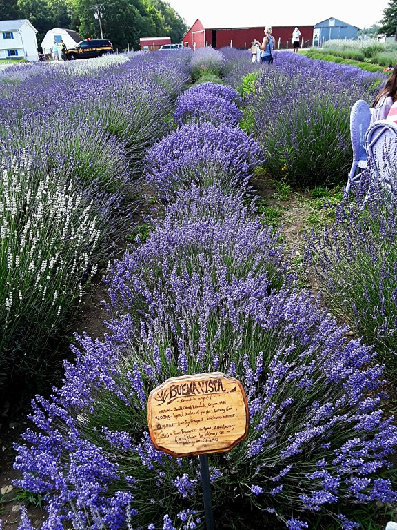 """""""Buena Vista"""" is a compact and vigorous growing lavender"""