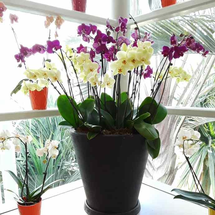 a large pot of cream and purple moth orchids sits on a sunlit windowsill