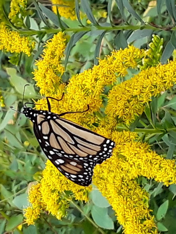 A monarch butterfly on a goldenrod flower