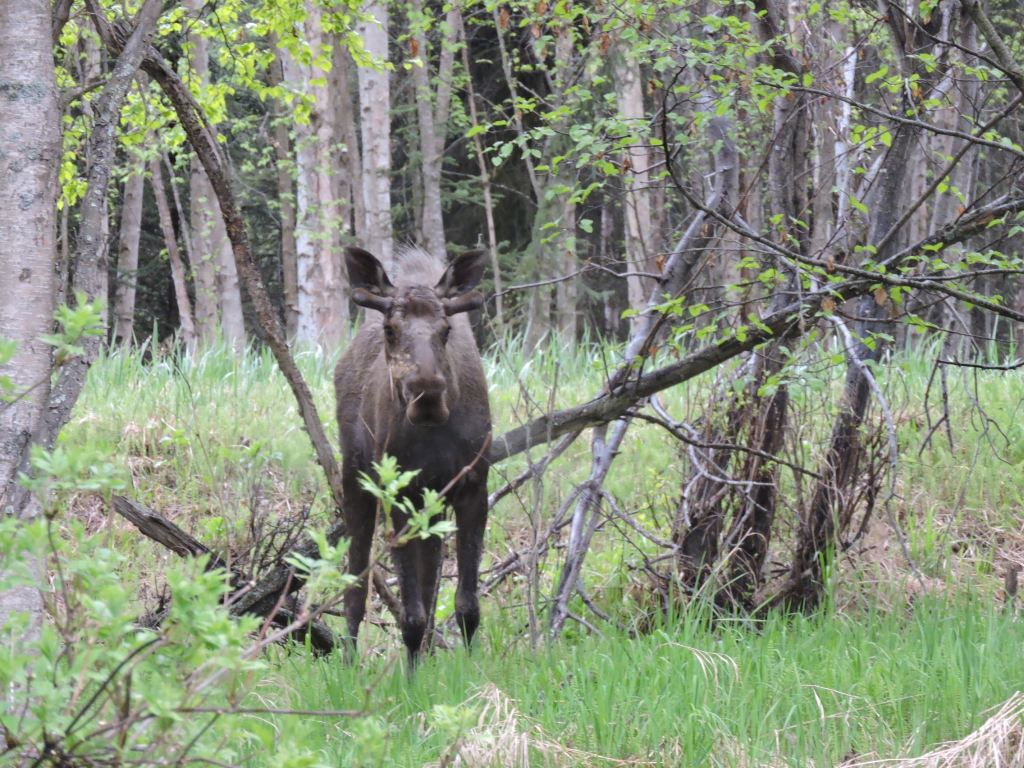 Moose in Earthquake Park, Anchorage, Alaska