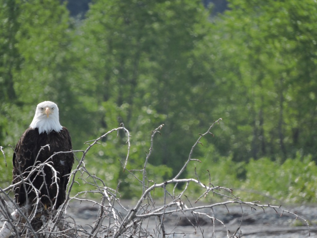 Bald Eagle in Haines AK