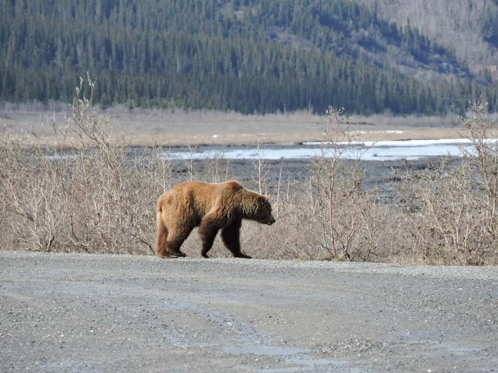 Brown Bear in Denali National Park, Alaska