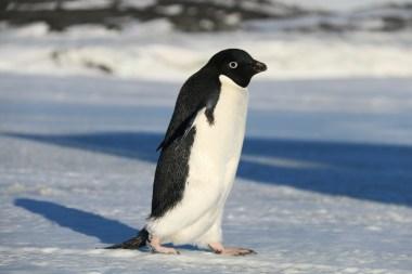 Adélie Penguin, near Cape Evans, Antarctica. © A. Padilla