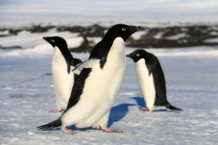 Adélie Penguins, near Cape Evans, Antarctica. © A. Padilla