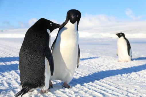 The dance of the Adélie Penguins, near Cape Evans, Antarctica. © A. Padilla