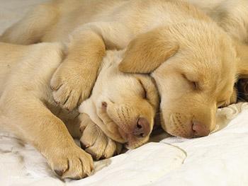 Two sleeping puppies