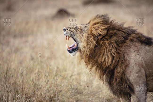 A Male Lion Roaring In The Grass In The Serengeti National Park In Tanzania Stock Images Page Everypixel