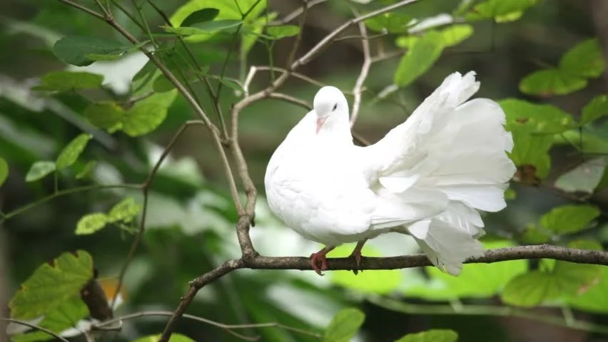 Image result for white Pigeons