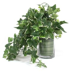 Image result for English Ivy