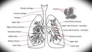 Human Lung Structure Animation Illustration Stock Footage Video 2689196   Shutterstock