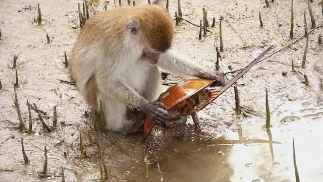 crab eating macaque Macaca fascicularis