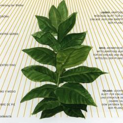 02 - Einteilung der Blätter einer Tabakpflanze