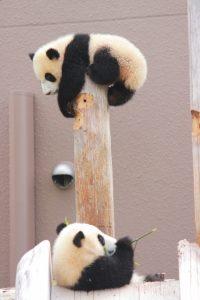双子パンダ