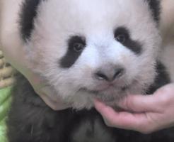 パンダの赤ちゃん生後100日
