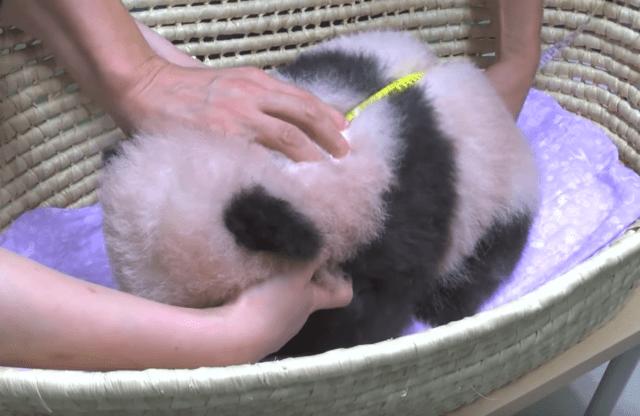 パンダ赤ちゃん生後90日