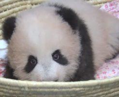 赤ちゃんパンダシャンシャン生後110日