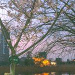 暖か陽気で『河津桜』も咲いています🌸
