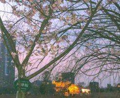 不忍池の河津桜
