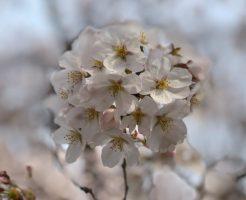 上野公園ソメイヨシノ花見