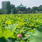 夏の風物詩『不忍池のハスの花』が咲き始めました!