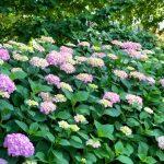 紫陽花が咲き始め、今週末から梅雨入り!?